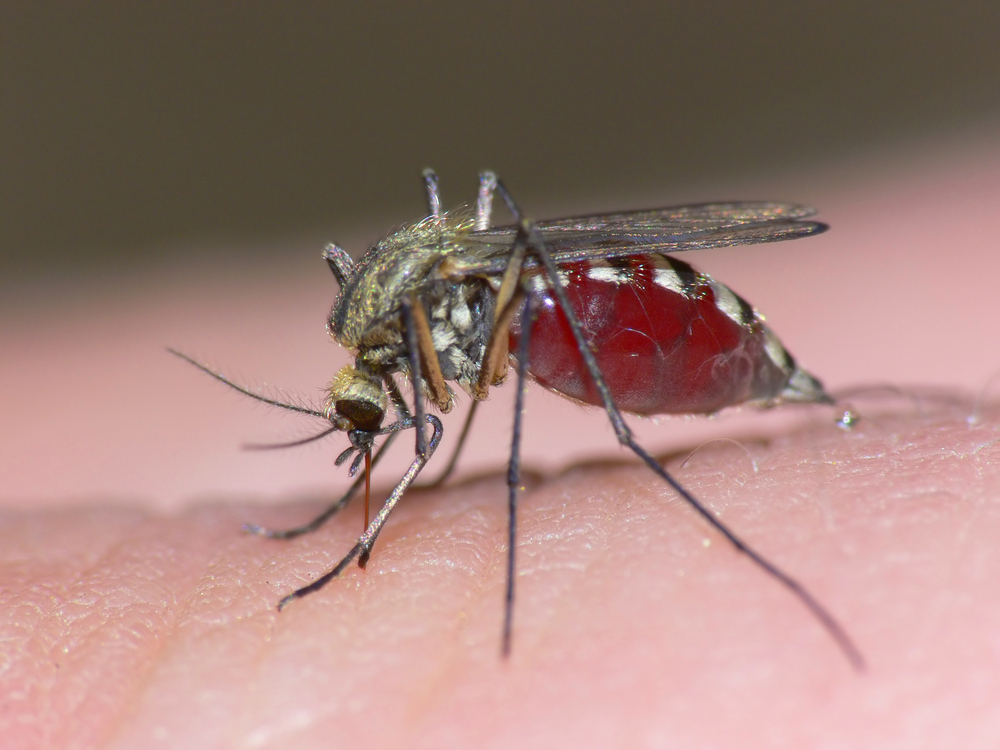 Mosquito: world's most dangerous animal