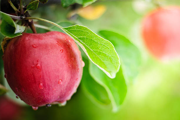 Benefits of Eating Apple Every Day